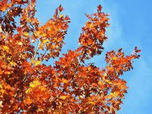 Colorful oak tree branches in autumn, Lithuania Royalty Free Stock Photos