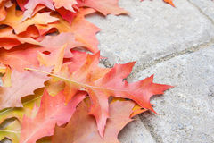 Colorful Oak Tree Leaves Closeup Royalty Free Stock Images