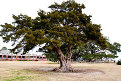 Colorful Old Oak Tree On A White Sky Stock Photos
