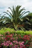 Colorful oleander and palm tree Stock Image
