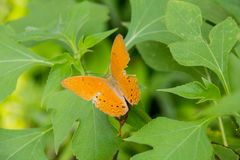 Colorful orange batterfly with green leaf. Orange batterfly color sit on flower. Colorful orange batterfly with green leaf Stock Image