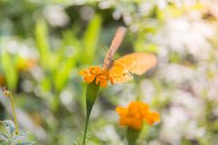 Colorful orange batterfly with green leaf. Soft focus Butterfly on the flower, feeling move. Butterfly on the green leaf. Abstract beautiful light from sunshine Royalty Free Stock Image