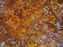Colorful orange beech tree branches natural autumn leaves backgr. Ound Stock Images