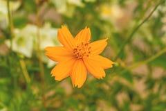 Colorful orange Cosmos flower(Sulfur Cosmos) Royalty Free Stock Photo