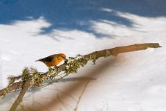 Colorful orange crossbill sits on the branch of pine tree. Among snowy forest. Sunny day in winter wilderness Stock Photo