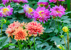 Colorful orange dahlia and pink dahlia flower blooming in the ga Stock Photo