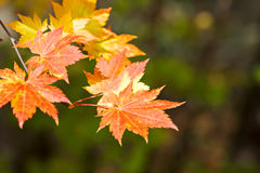 Colorful orange and golden maple leaves on green background Royalty Free Stock Photography