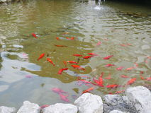Colorful orange goldfish or koi in a pond. Colorful orange goldfish or ornamental koi swimming in a pond gathering together for feeding near a shelf of rocks Stock Photo