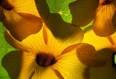 Colorful Orange Hawaiian Flowers with Green Leaves Royalty Free Stock Photo