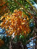 Colorful orange palm tree fruit handing from tree. Colorful date seeds on palm tree 4k Royalty Free Stock Photos