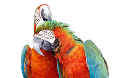 Colorful orange parrot macaw isolated. On white background Stock Photos