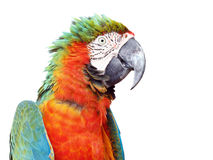 Colorful orange parrot macaw isolated Royalty Free Stock Photo