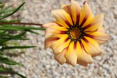 Colorful orange and pink Gazania flower in the garden in spring. Colorful orange and pink Gazania flower in the garden Stock Image