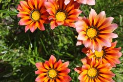 Colorful orange and pink Gazania flower in the garden in spring. Colorful orange and pink Gazania flower in the garden Stock Photo