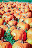 Colorful orange pumpkins in a pumpkin patch ready for Halloween. Stock Photo