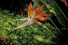 Bird of paradise flower. Colorful orange and red bird of paradise flowers against green Royalty Free Stock Image