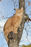 Orange Tabby Cat in a Tree. A colorful orange tabby cat high in a tree looking for prey royalty free stock images