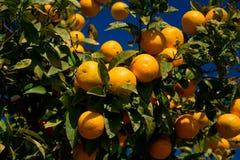 Colorful Orange tree in Arcos de la Frontera. Spain Royalty Free Stock Photography