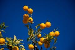 Colorful Orange tree in Arcos de la Frontera. Spain Royalty Free Stock Image