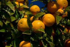 Colorful Orange tree in Arcos de la Frontera. Spain Royalty Free Stock Images