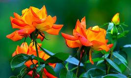 Colorful orange tropical roses Royalty Free Stock Image
