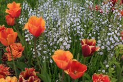 Colorful orange tulips with white flowers. Royalty Free Stock Images