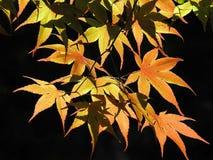 Colorful Orange And Yellow Autumn Leaves On A Black Background. Season, fall, maple, tree, leaf, foliage, turning, october, november, nature, green, seasonal royalty free stock images