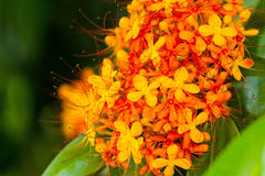 The colorful orange and yellow blooms of Saraca asoca stock photos