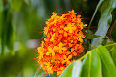 The colorful orange and yellow blooms of Saraca asoca (Saraca in Stock Photos