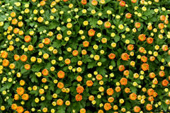 Colorful orange and yellow chrysanthemums Royalty Free Stock Photo