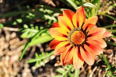 Colorful orange and yellow Gazania flower in the garden in spring stock photo