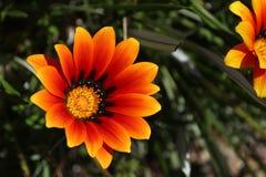 Colorful orange and yellow Gazania flower in the garden in spring. Colorful orange and yellow Gazania flower in the garden Stock Photos