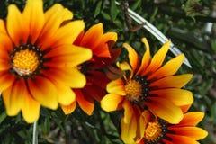 Colorful orange and yellow Gazania flower in the garden in spring. Colorful orange and yellow Gazania flower in the garden Royalty Free Stock Image