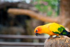 Yellow parrot bird, sun conure. royalty free stock photography