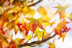 Colorful orange and yellow marple leaves on a natural background royalty free stock images