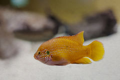 Colorful orange, yellow tropical fish. aged Royalty Free Stock Photo