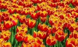Colorful Tulips at Ottawa Tulips Festival 2017 Stock Photo