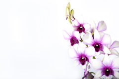 Colorful orchid. Isolated on white Stock Image