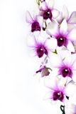 Colorful orchid. Isolated on white Stock Photo