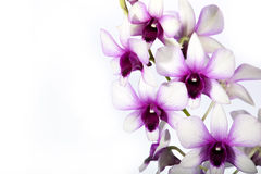Colorful orchid. Isolated on white Royalty Free Stock Photo