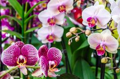 Orchid flower blossom. Colorful orchid flower blossom background Stock Photo