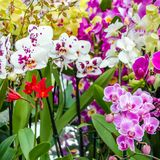 Orchid flower blossom Royalty Free Stock Image