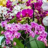 Orchid flower blossom Royalty Free Stock Photography