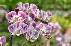 Colorful of orchid in garden Stock Photography