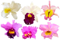 Colorful orchid isolated on white background. 6 Colorful orchid isolated on white background Royalty Free Illustration