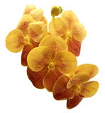 Colorful orchid isolated on white background. Yellow and red orchid isolated on white background Royalty Free Stock Images