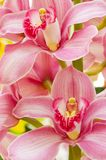 Colorful orchids Stock Image