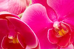 Colorful orchids. Macro shot of colorful orchids for backgrounds Stock Photography