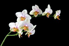 Colorful Orchids. Closeup of colorful  orchids on a  black background Stock Photo