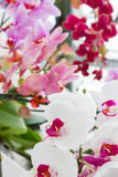 Colorful orchids flowers Royalty Free Stock Photo